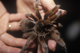Brown Tarantula, Sarasota, Fl, Hands on Science Museum Photographic Print