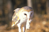 Close-Up of Barn Owl Holding Dead Mouse, Land Between Lakes, Ky Photographic Print