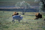 White Bison, White Clouds, Sacred Buffalo, National Buffalo Museum, Jamestown, Sd Photographic Print