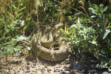Rattlesnake Coiled, NM Photographic Print
