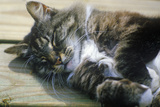 Sleeping Gray Cat on Wooden Porch Photographic Print