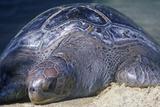 Sea Turtle, Sea World, San Diego, CA Photographic Print