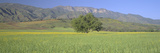 Mustard in Green Field and Topa Topa Bluffs, in Upper Ojai Valley, California Photographic Print