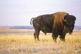 Buffalo Grazing on Range, Niobrara National Wildlife Refuge, Ne Photographic Print
