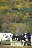 Cattle Drinking from Trough in Autumn on Route 7, CT Photographic Print