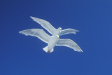 Two Seagulls Flying in Tandem in Bright Blue Sky Reproduction photographique