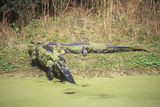 American Alligator, Hunting Island, Sc, Alligator Mississippietes Photographic Print