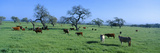 Cattle Grazing, Santa Ynez Valley, California Photographic Print