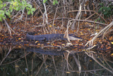 Alligator in Swamp, Jn Ding Darling National Wildlife Refuge, Sanibel, FL Photographic Print
