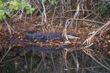 Alligator in Swamp, Jn Ding Darling National Wildlife Refuge, Sanibel, FL Photographic Print