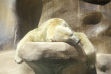 Polar Bear Napping at San Diego Zoo, Ca, Ursusmaritmius Photographic Print