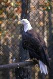 Mature Bald Eagle, Land Between Lakes, Ky Photographic Print