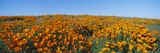California Poppies, Spring Wildflowers, Antelope Valley, California Photographic Print