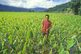 Man Standing in Taro Field, Kauai, Hawaii Photographic Print