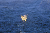Dog Running in Field Photographic Print