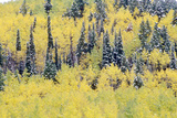 Aspens and First Snow Near Ridgeway, Last Dollar Ranch Road, Colorado Photographic Print