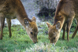Deer Grazing in Morning, Assateague National Wildlife Refuge, MD Photographic Print