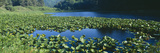 Pond Covered with Lilies Near Highway 1, Northern California Photographic Print