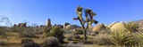 Joshua Tree National Park, Spring, California Photographic Print