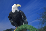 American Bald Eagle, Pigeon Fork, Tn Photographic Print