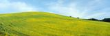 Spring Field, Mustard Seed, Near Lake Casitas, California Photographic Print