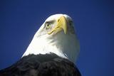 American Bald Eagle, Pigeon Fork, Tn Photographic Print