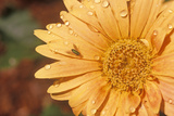Detail of Zinnia in Spring, Tampa, FL Photographic Print