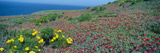 Iceplant and Coreopsis on Anacapa Island, Channel Islands, California Photographic Print