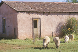Sheep Grazing in Yard, San Miguel, NM Photographic Print