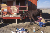 Large Animal Veterinarian Tending to an Injured Horse, Shiprock, NM Photographic Print