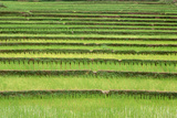 Terraced Rice Paddies in Kunming, People's Republic of China Photographic Print
