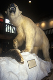 Stuffed Polar Bear in Fairbanks Museum/Planetarium in St. Johnsbury, VT Photographic Print