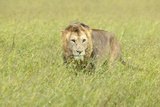 Male Lion in Grasslands of Masai Mara Near Little Governor's Camp in Kenya, Africa Photographic Print