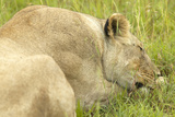 Female Lion Sleeping in Grasslands of Masai Mara Near Little Governor's Camp in Kenya, Africa Photographic Print