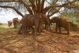 Adopted Baby African Elephants at the David Sheldrick Wildlife Trust in Tsavo National Park, Kenya Photographic Print