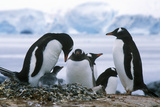 Gentoo Penguins and Chicks (Pygoscelis Papua) at Rookery in Paradise Harbor, Antarctica Photographic Print