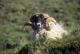 Curly Horned Sheep in Cork, Ireland Photographic Print