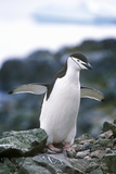 Chinstrap Penguin (Pygoscelis Antarctica) on Half Moon Island, Bransfield Strait, Antarctica Photographic Print