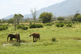 African Elephants at Watering Hole in Tsavo National Park, Kenya, Africa Photographic Print