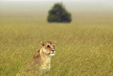 Female with One Eye in Grasslands of Masai Mara Near Little Governor's Camp in Kenya, Africa Photographic Print