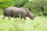 White Rhino Walking Through Brush in Umfolozi Game Reserve, South Africa, Established in 1897 Photographic Print