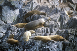 Southern Sea Lions on Rocks Near Beagle Channel and Bridges Islands, Ushuaia, Southern Argentina Photographic Print