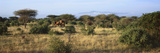 Panoramic View of African Elephants in Afternoon Light in Lewa Conservancy, Kenya, Africa Photographic Print
