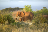 African Elephants Taking a Dust Bath in Tsavo National Park, Kenya, Africa Photographic Print