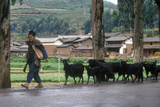Goat Herder with Goats in Dali, Yunnan Province, People's Republic of China Photographic Print