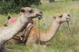 Camels at Lewa Conservancy, Kenya, Africa Photographic Print