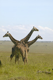 Giraffes in Grasslands of Masai Mara Near Little Governor's Camp in Kenya, Africa Photographic Print