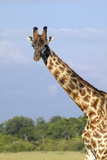 Giraffe in Grasslands of Masai Mara Near Little Governor's Camp in Kenya, Africa Photographic Print