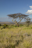 Mount Kenya and Lone Acacia Tree at Lewa Conservancy, Kenya, Africa Photographic Print