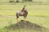 Topi on Mound in Grasslands of Masai Mara in Kenya, Africa Photographic Print